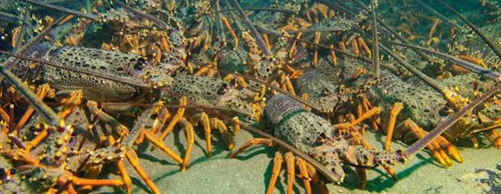 A large number of rock lobsters