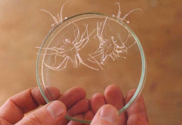 Leaf shaped phyllosoma larvae stage